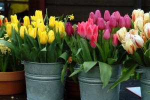 tulips-in-buckets-e1302057870222