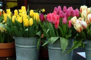 tulips-in-buckets-e1302057870222